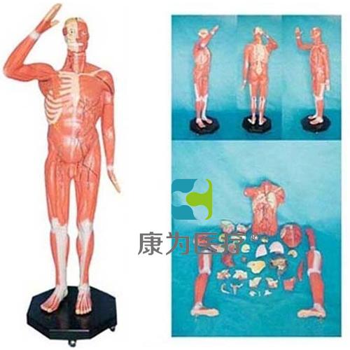 """""""康为医疗"""" 人体全身肌肉附内脏模型"""