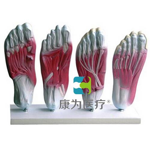 """""""康为医疗""""足底肌肉解剖模型"""