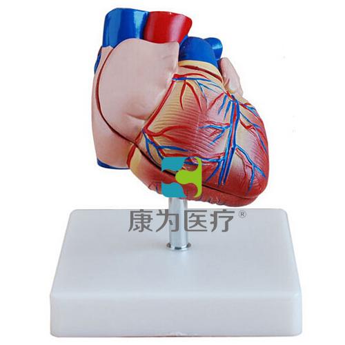 """""""康为医疗""""新型自然大心脏解剖模型"""