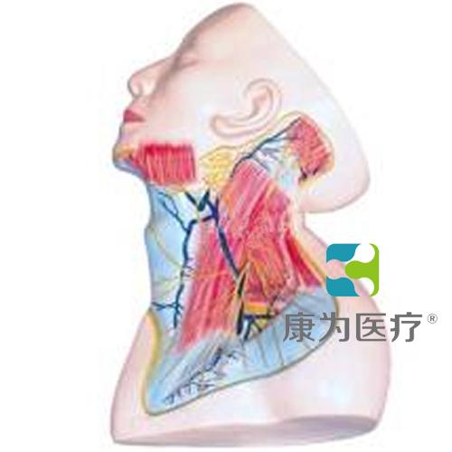 """""""康为医疗""""颈部浅层解剖模型"""