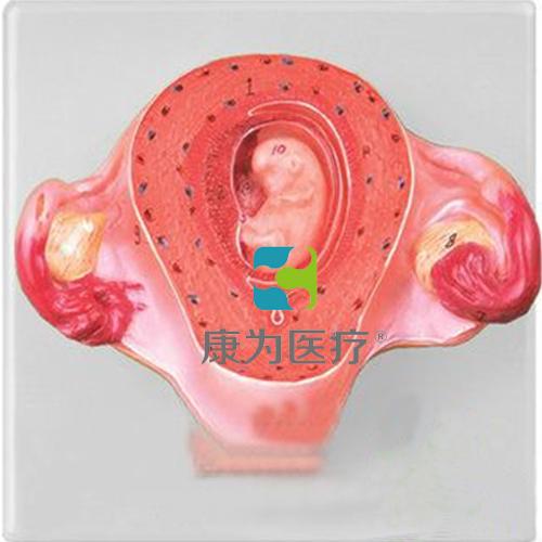 """""""康为医疗""""二个月胚胎模型"""
