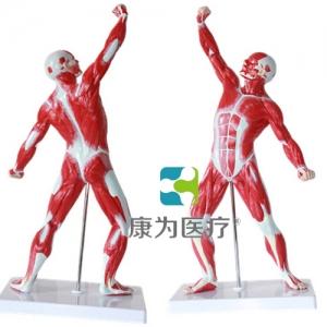 """""""康为医疗""""人体浅层运动肌肉解剖模型"""