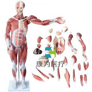"""""""康为医疗""""80CM人体肌肉模型 27件"""