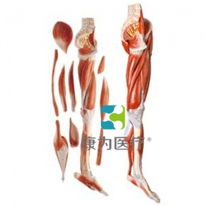 """""""康为医疗""""下肢层次解剖模型"""