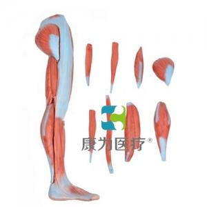"""""""康为医疗""""下肢肌肉解剖模型"""