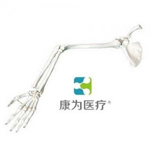 """""""康为医疗""""手臂骨、肩胛骨、锁骨模型"""