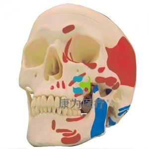 """""""康为医疗""""高级头颅骨肌肉着色模型"""