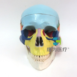 """""""康为医疗""""自然大彩色头骨模型"""