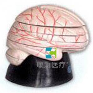 """""""康为医疗""""脑水平切面模型"""
