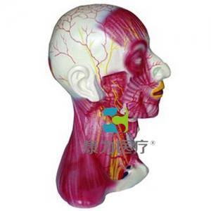 """""""康为医疗""""颈部中层肌肉血管神经模型"""