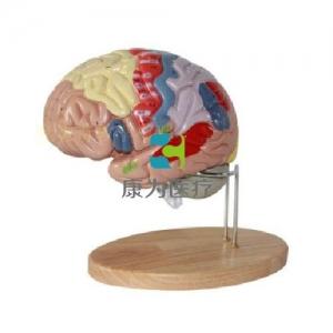 """""""康为医疗""""2倍放大脑模型"""